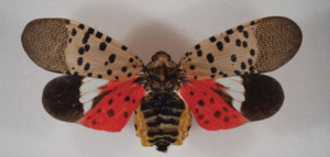 Spotted Lanternfly3